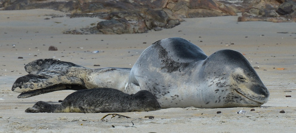 A leopard seal sleeps on St Kilda Beach with her pup after giving birth earlier yesterday. Photos...