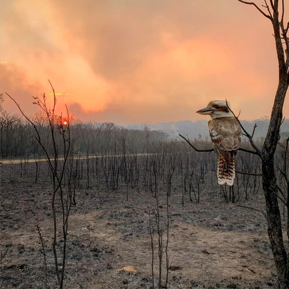 A kookaburra perches on a burnt tree in the aftermath of a bushfire in Wallabi Point in New South...