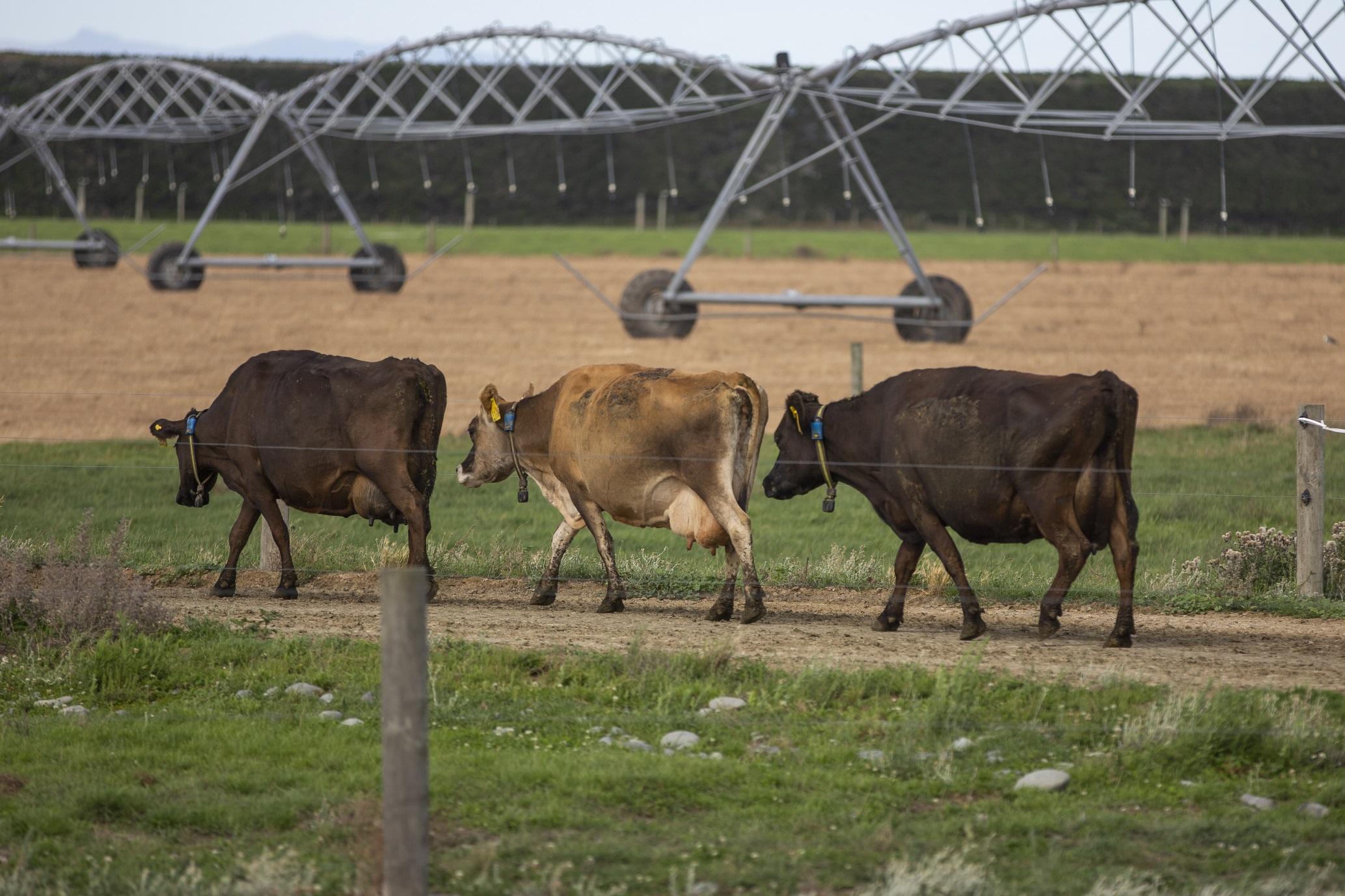 Raikaia Island dairy cows with Allflex Monitoring Collars (photo supplied)