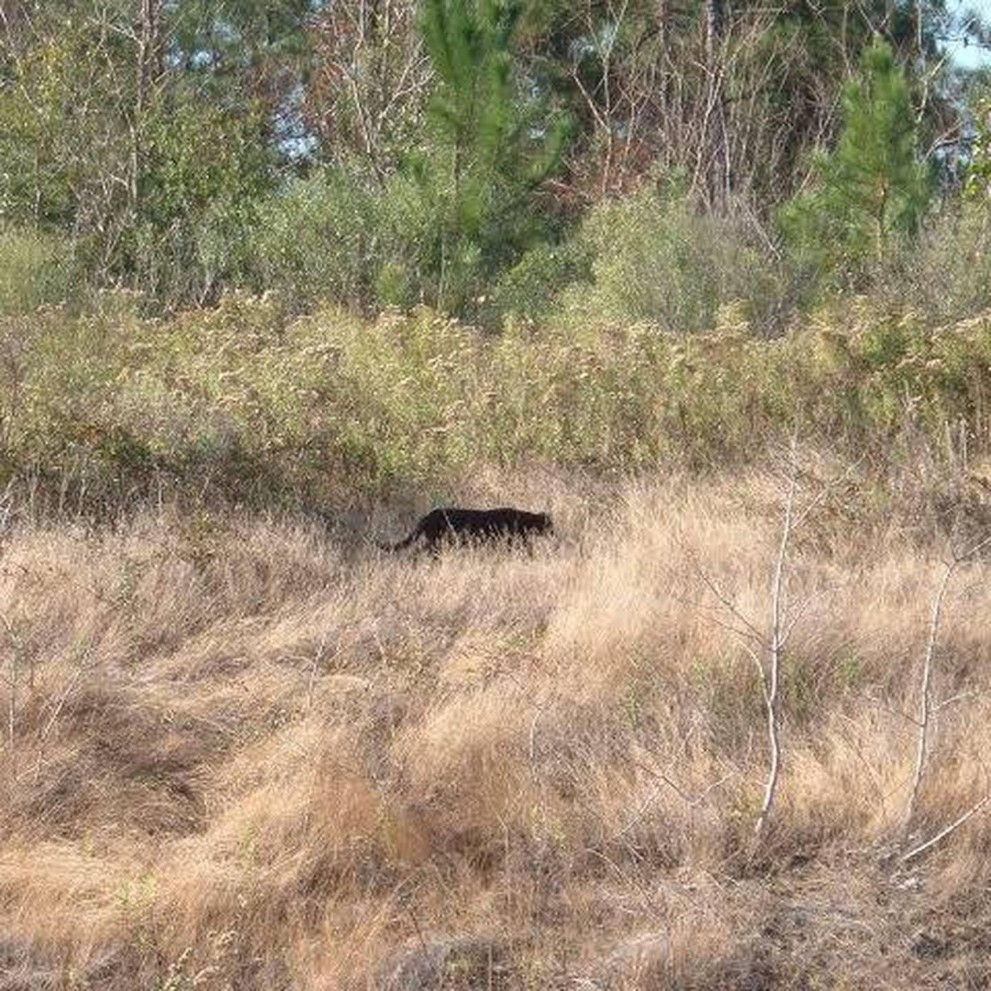 Repeated sightings of large black cats have been reported from various parts of Canterbury. Photo...