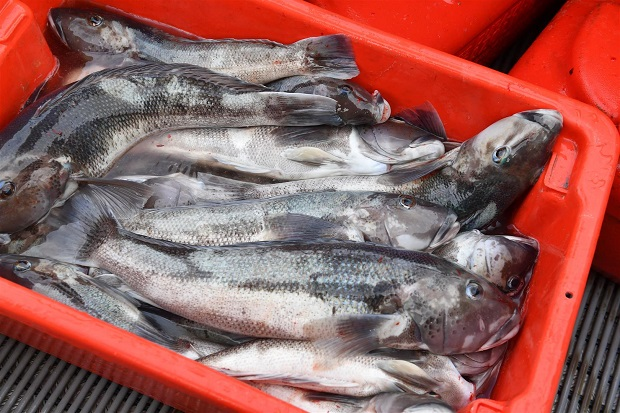 Some people are hoping for a lowered recreational take of blue cod off the Otago coast. Photo ODT
