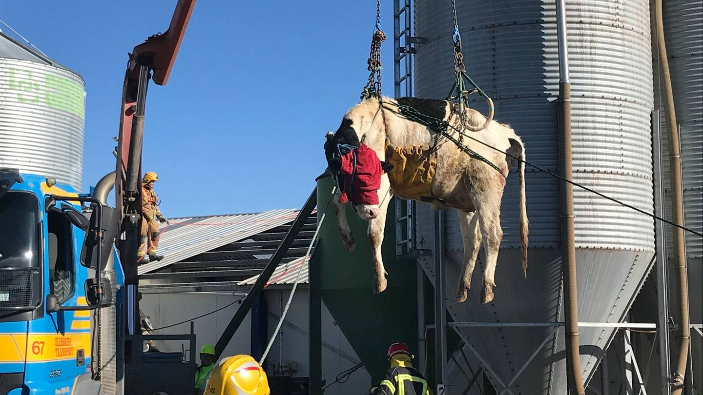 A cow found itself in the air today after it got into a rather tricky situation. Photo: Supplied...