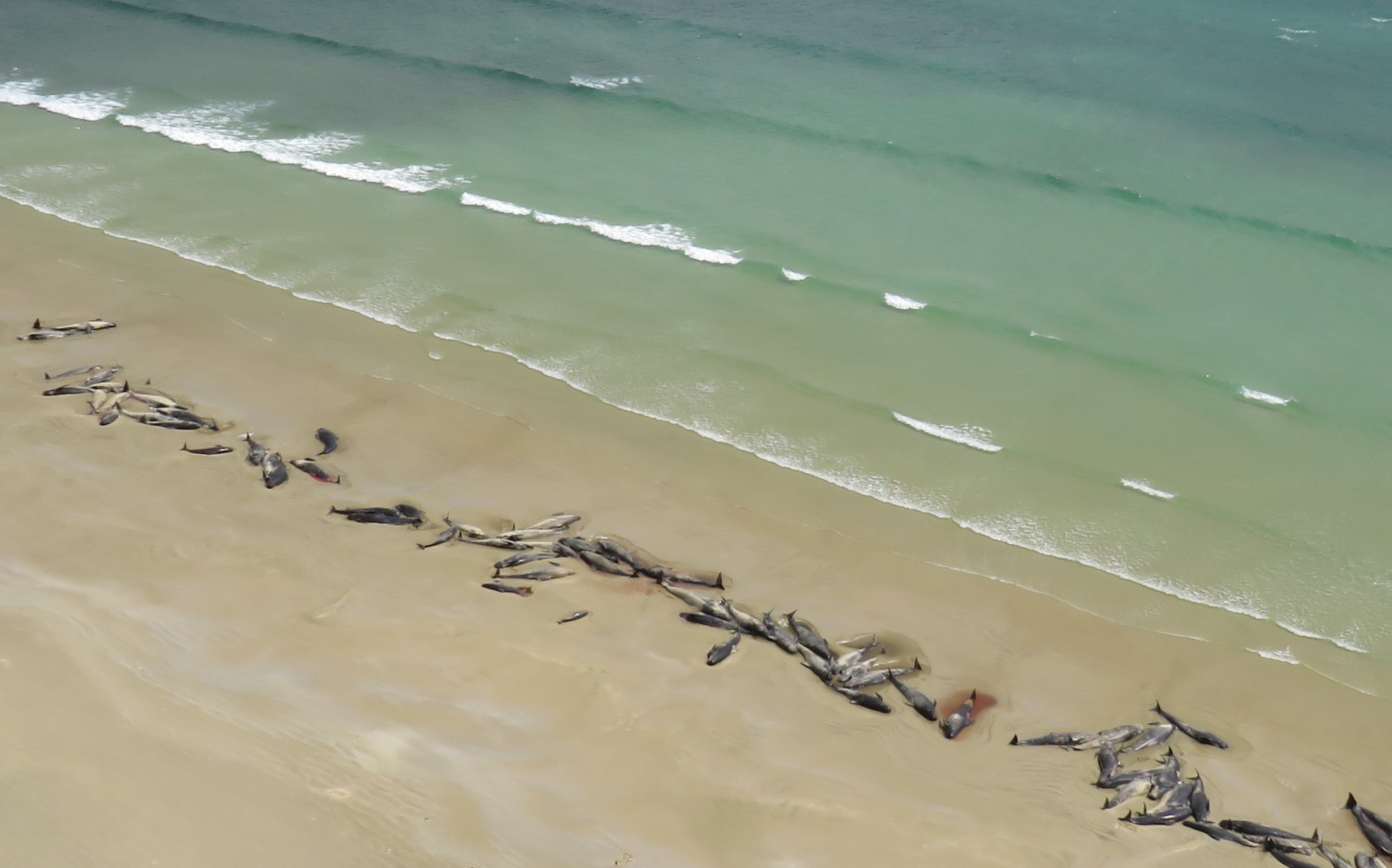 Aerial footage shows mass pilot whale stranding on Stewart Island