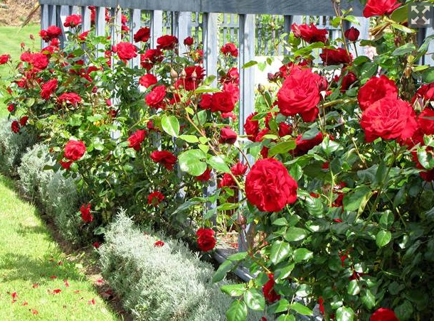 Dublin Bay, one of Sam McGredy's New Zealand-bred roses. Photo: NZ Herald