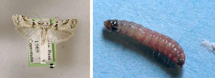 A guava moth and larva. Photo: supplied / Plant and Food Research