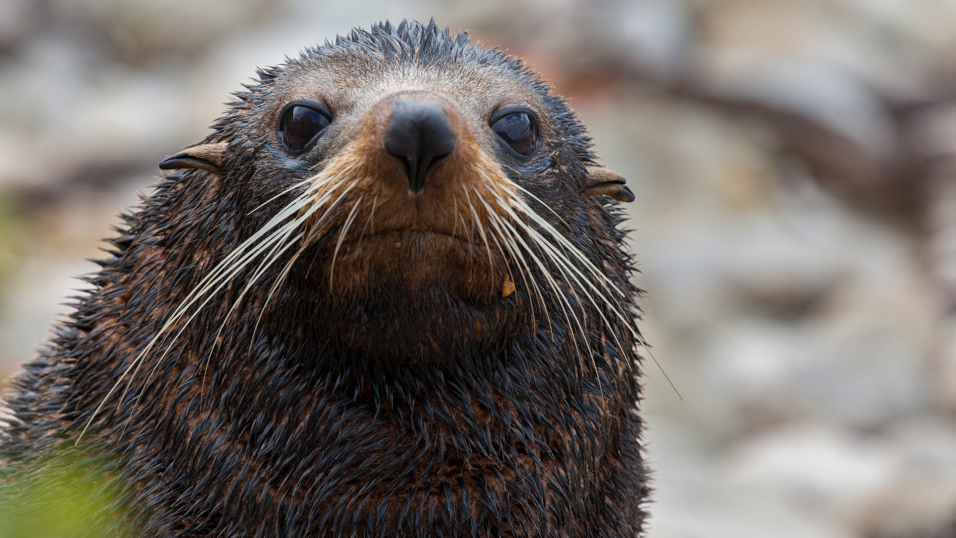 A NZ fur seal. Photo: Doc