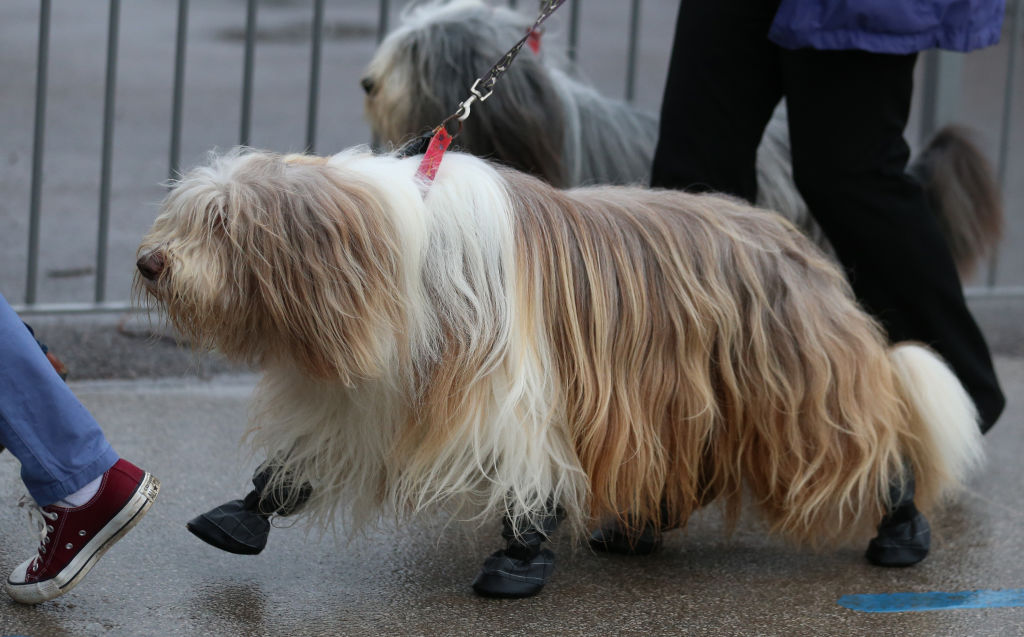 A dog in shoes. Photo: Getty Images