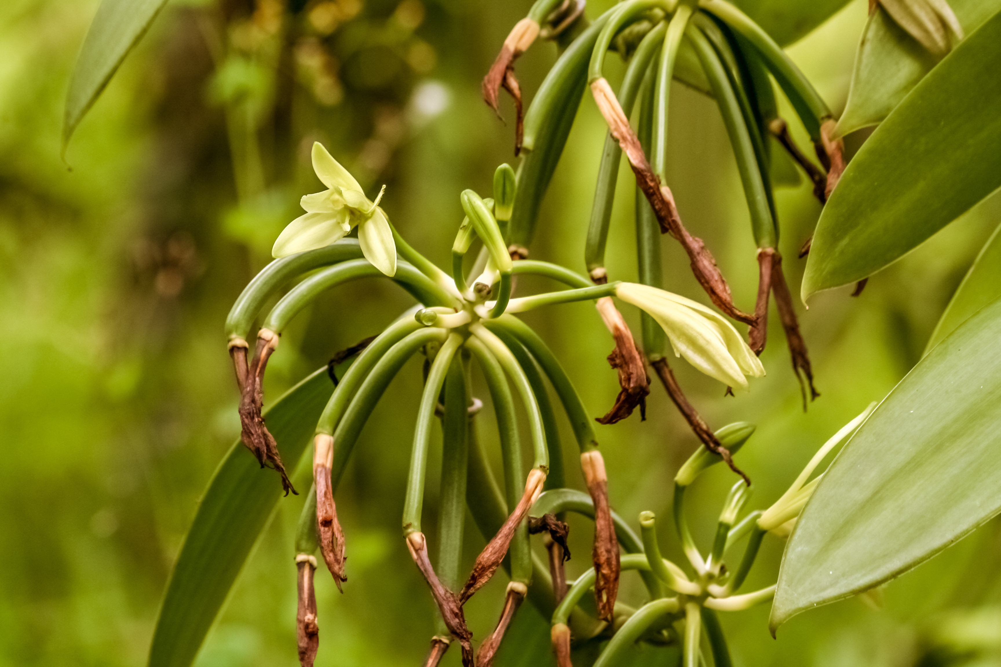 Vanilla sells for about $4000 a kg, whereas synthetic vanillin, one of the components of vanilla,...