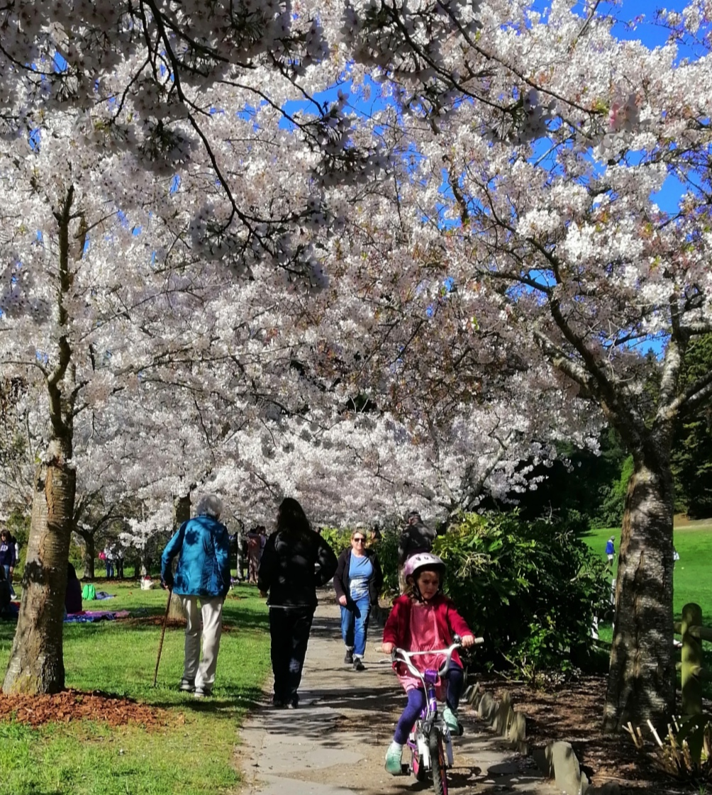 The cherry blossoms were out in Christchurch as the city swelters in 24 deg C temperatures. Photo...