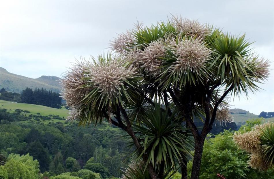 The ti kouka, or cabbage tree. Photo: ODT files
