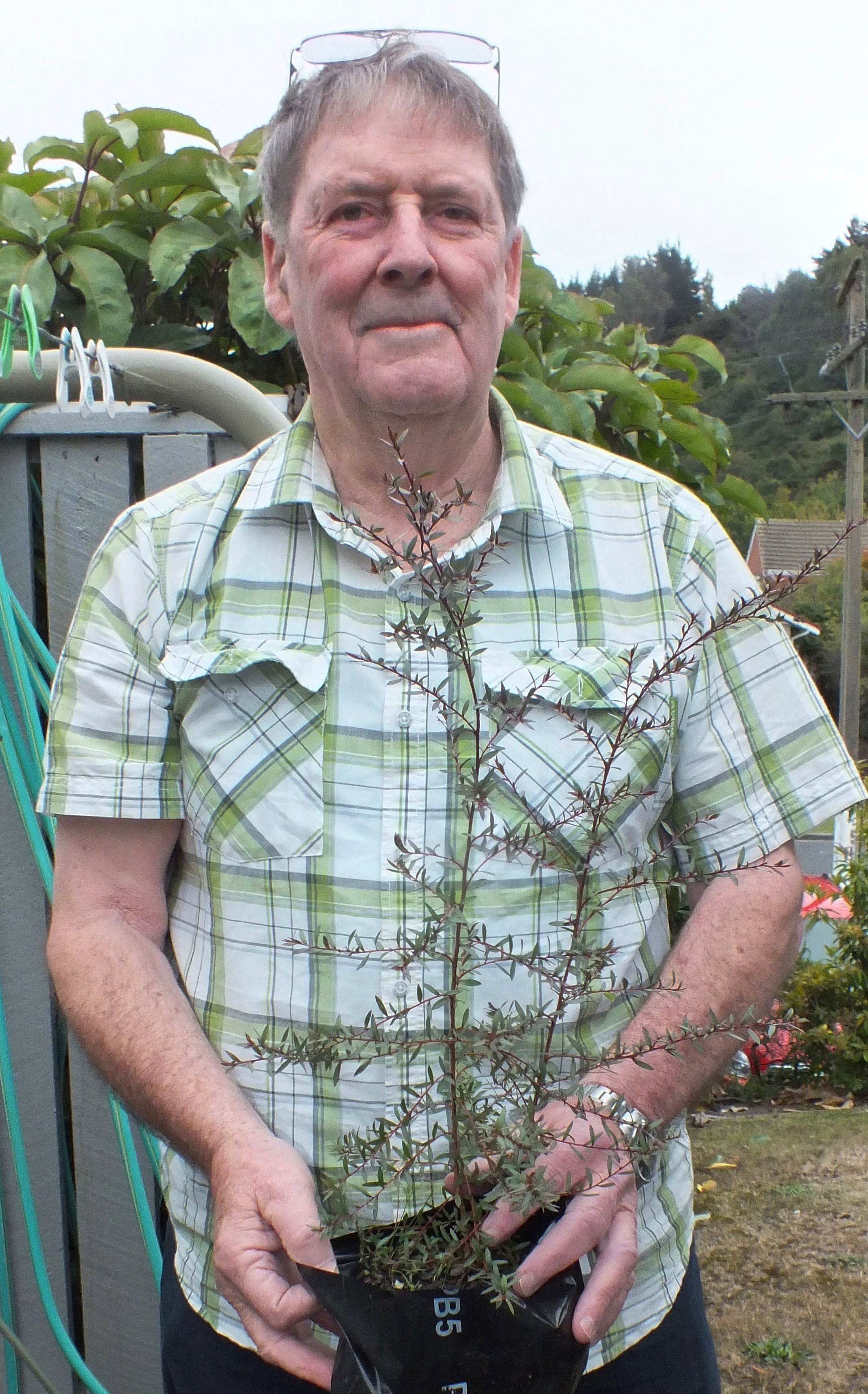 Peter Shone  with one of the manuka he grew from seed. PHOTO: GILLIAN VINE