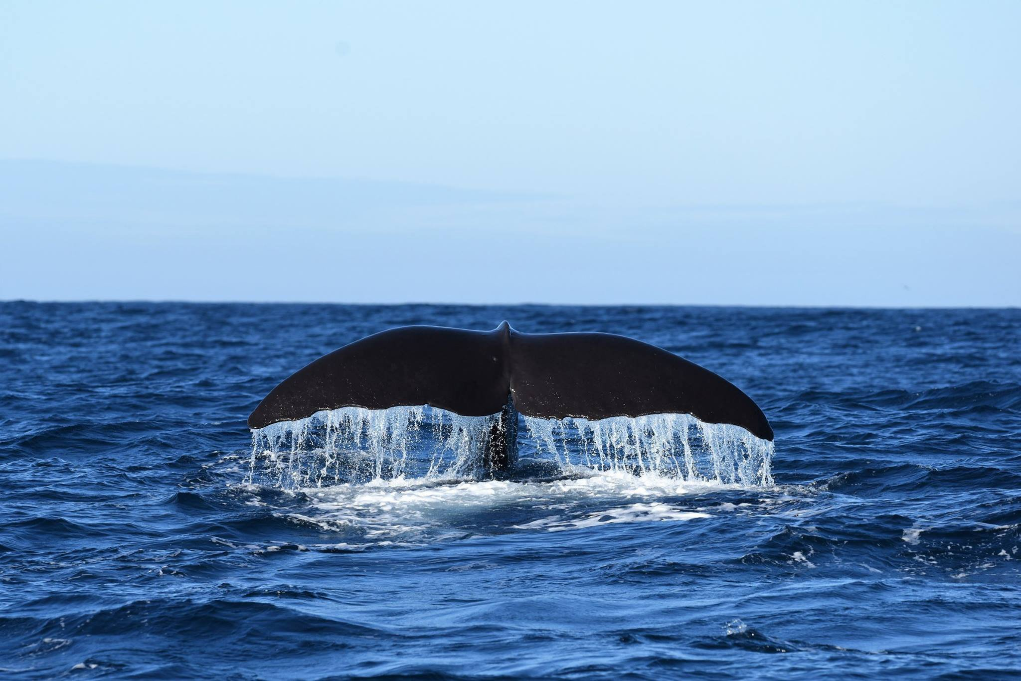 population of whales off dunedin coast significant study finds