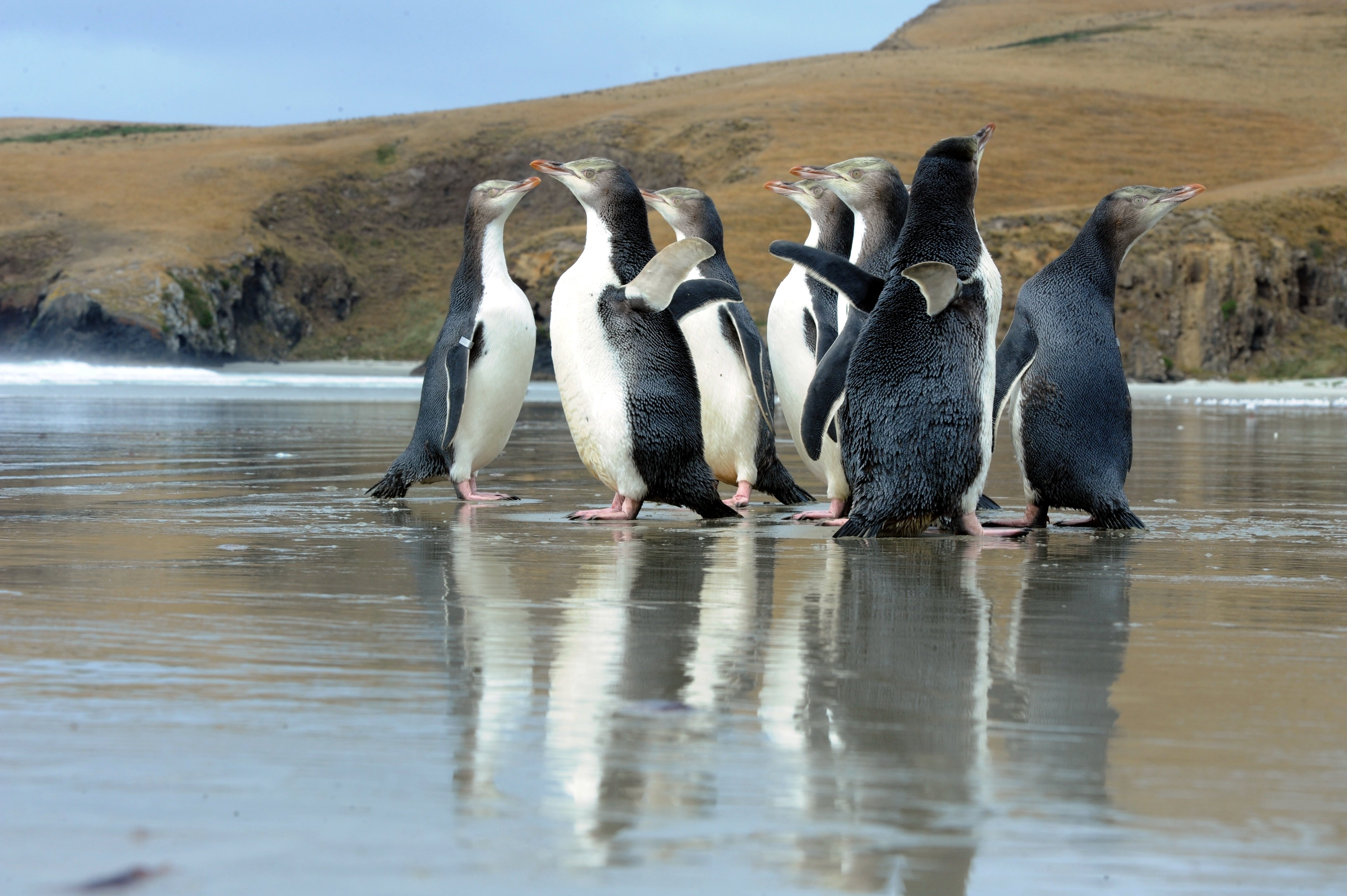 Yellow-eyed penguin survival in question