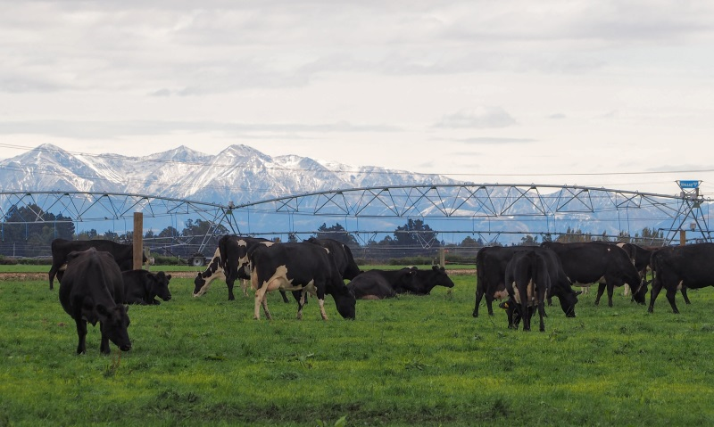 The influence of intensive dairy farming on human health is under the spotlight for its role in...