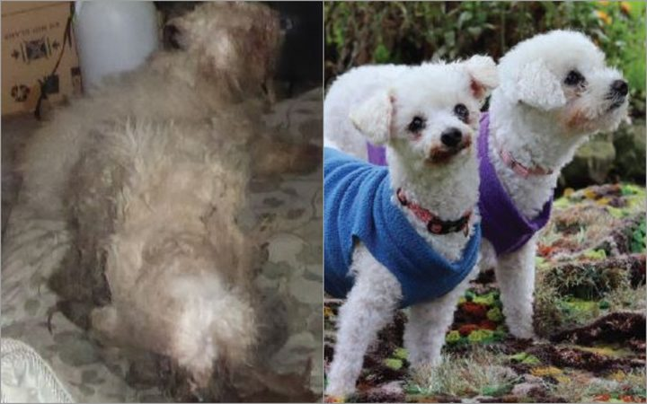 Poodle siblings Daisy and Lola were found neglected for almost two years. Photos: SPCA