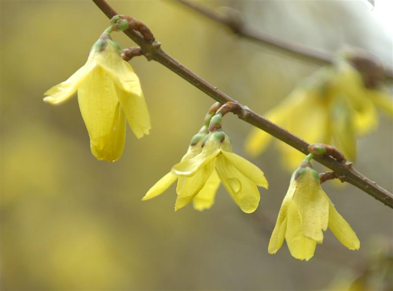 plant life 'forsythia' a spring favourite  otago daily times, Beautiful flower