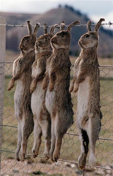 1997 Rabbit Killing Virus Released Otago Daily Times
