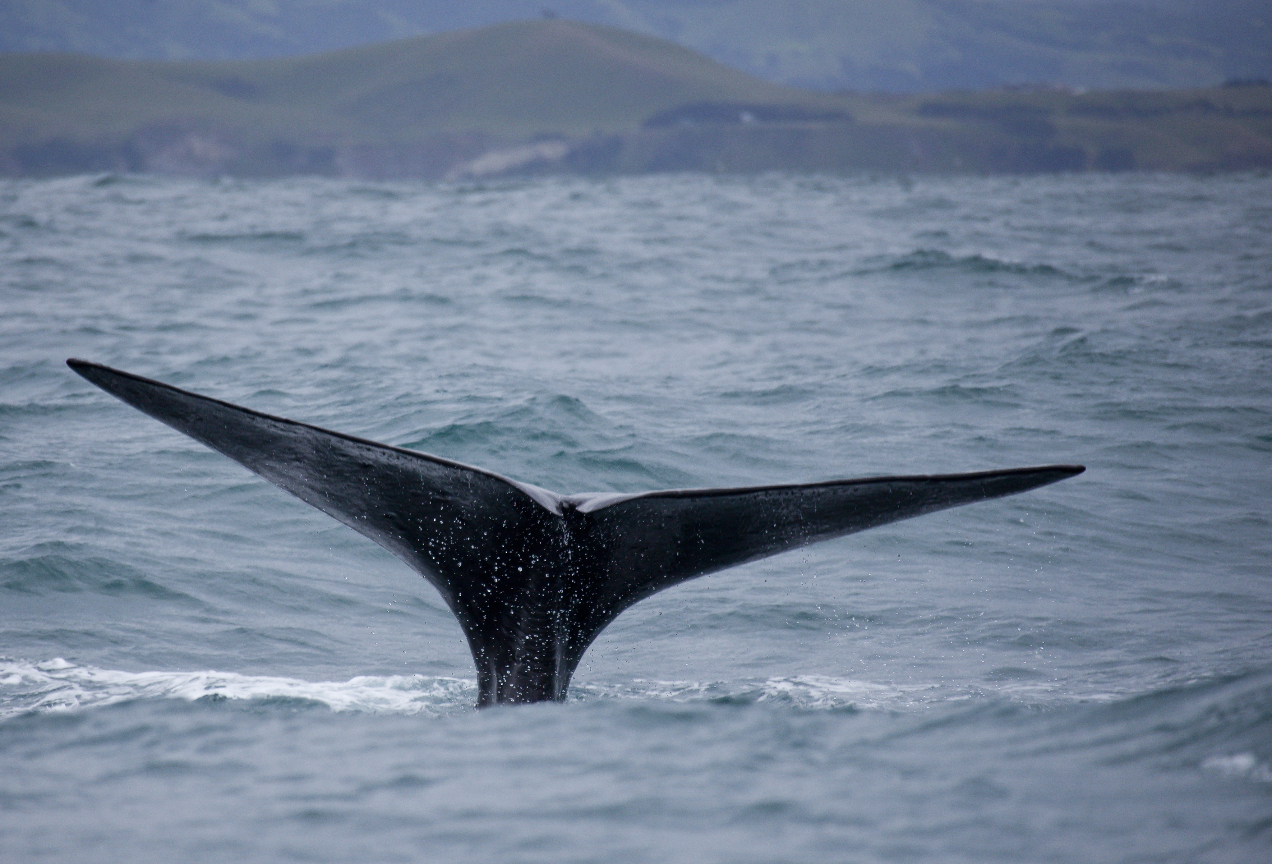 Whale song heard in NZ waters