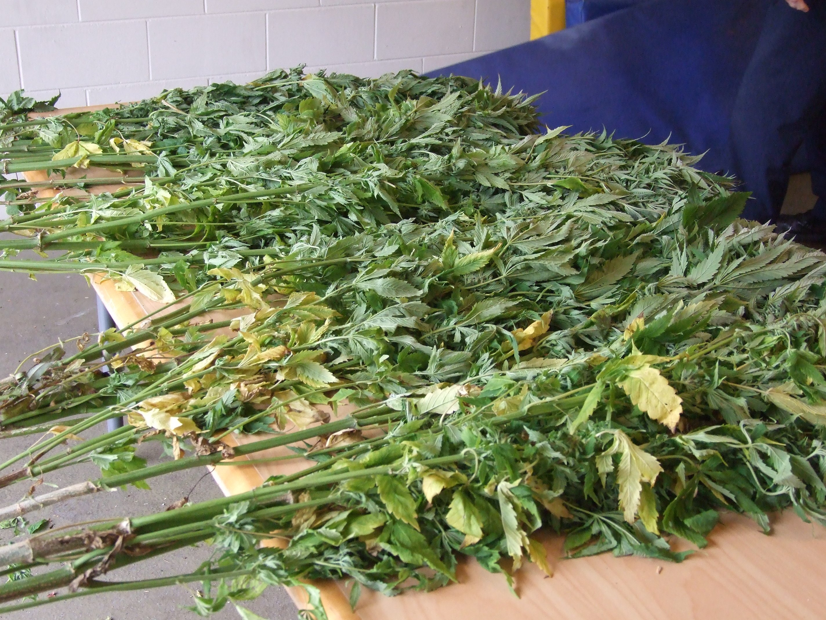 Booby-trapped cannabis plot discovered