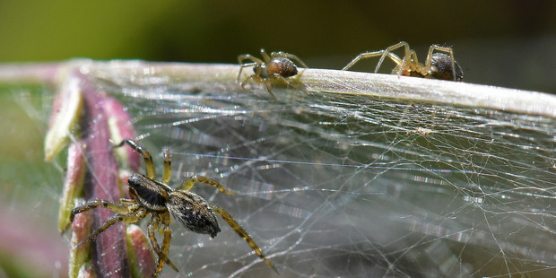 Thousands of spiders have created a giant cobweb blanketing part of Papamoa as part of their...