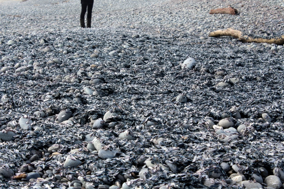 Tens of thousands of the jellyfish-like creatures washed up on Greymouth beaches last week. Photo...