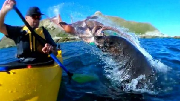 Take that sucker! Seal slaps kayaker with octopus