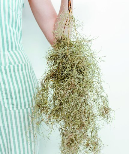 Spanish moss (Tillandsia usneoides) is an air plant, so needs no soil.