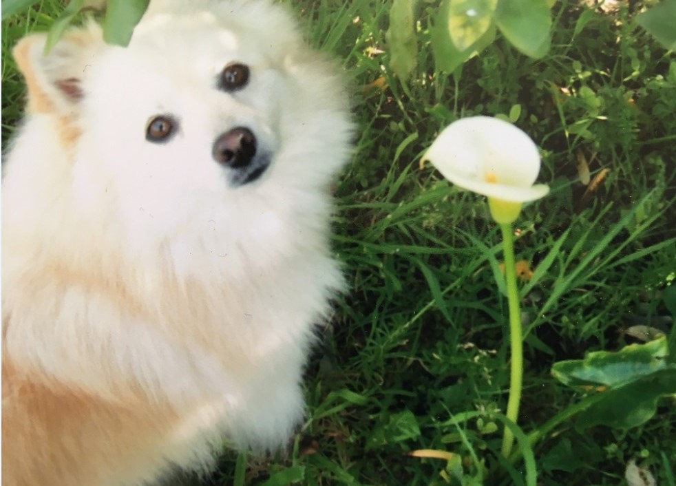 Rayne, a six-year-old German spitz killed in a dog attack. Photo: Supplied