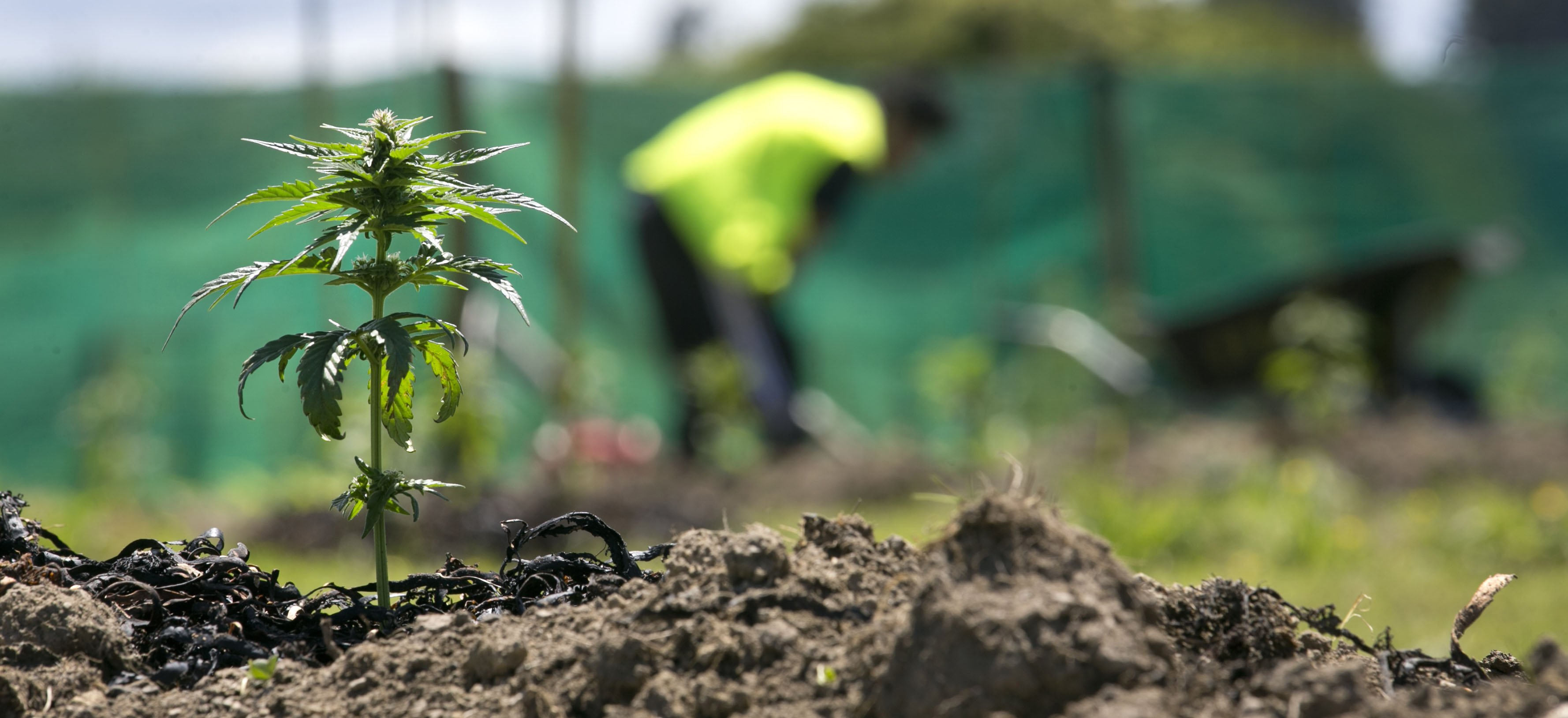The aim of Hikurangi Cannabis Company is to have a collective of growers using whanau land in the...