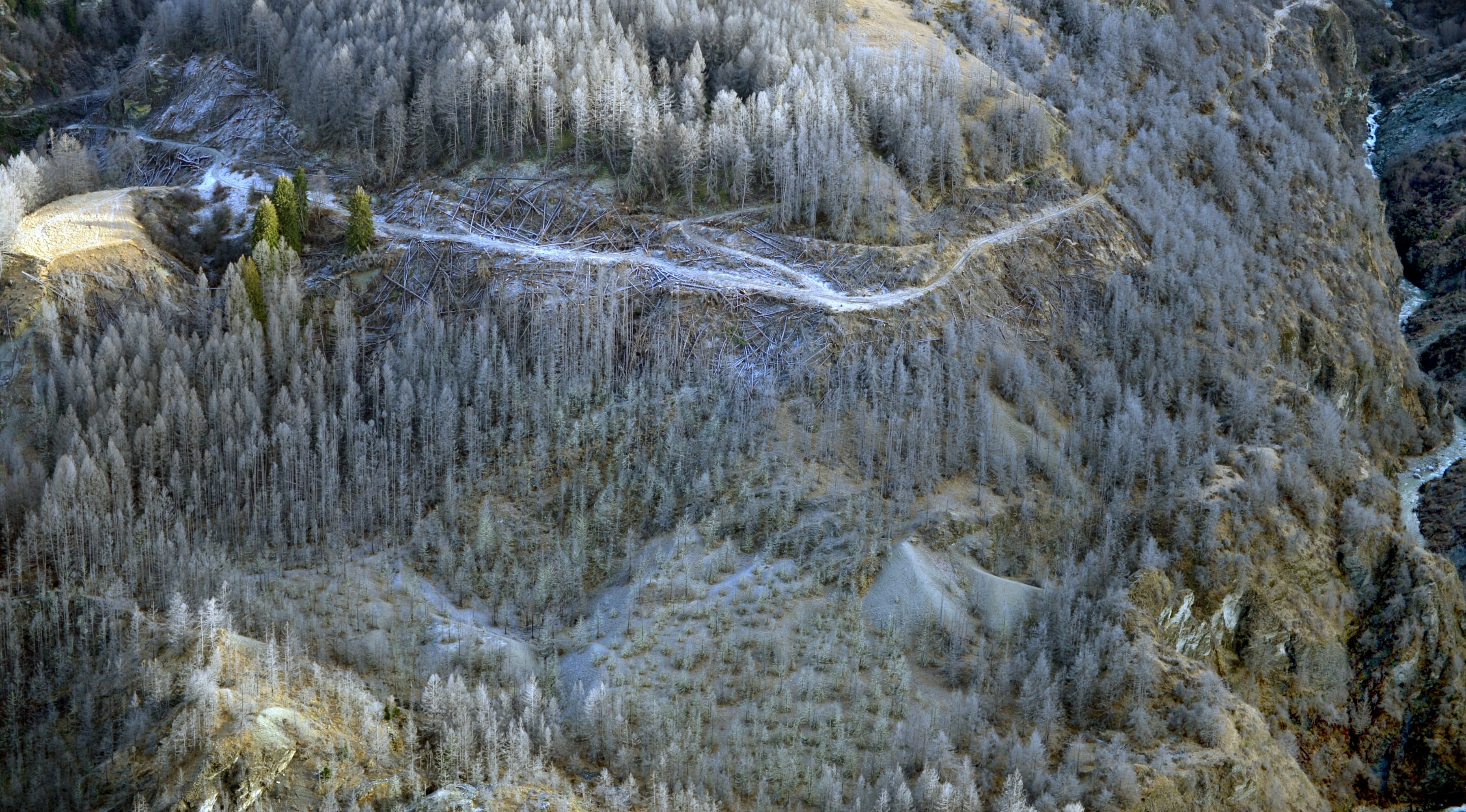 Sprayed wilding pines in a upper Shotover River gorge in 2014. PHOTO: STEPHEN JAQUIERY