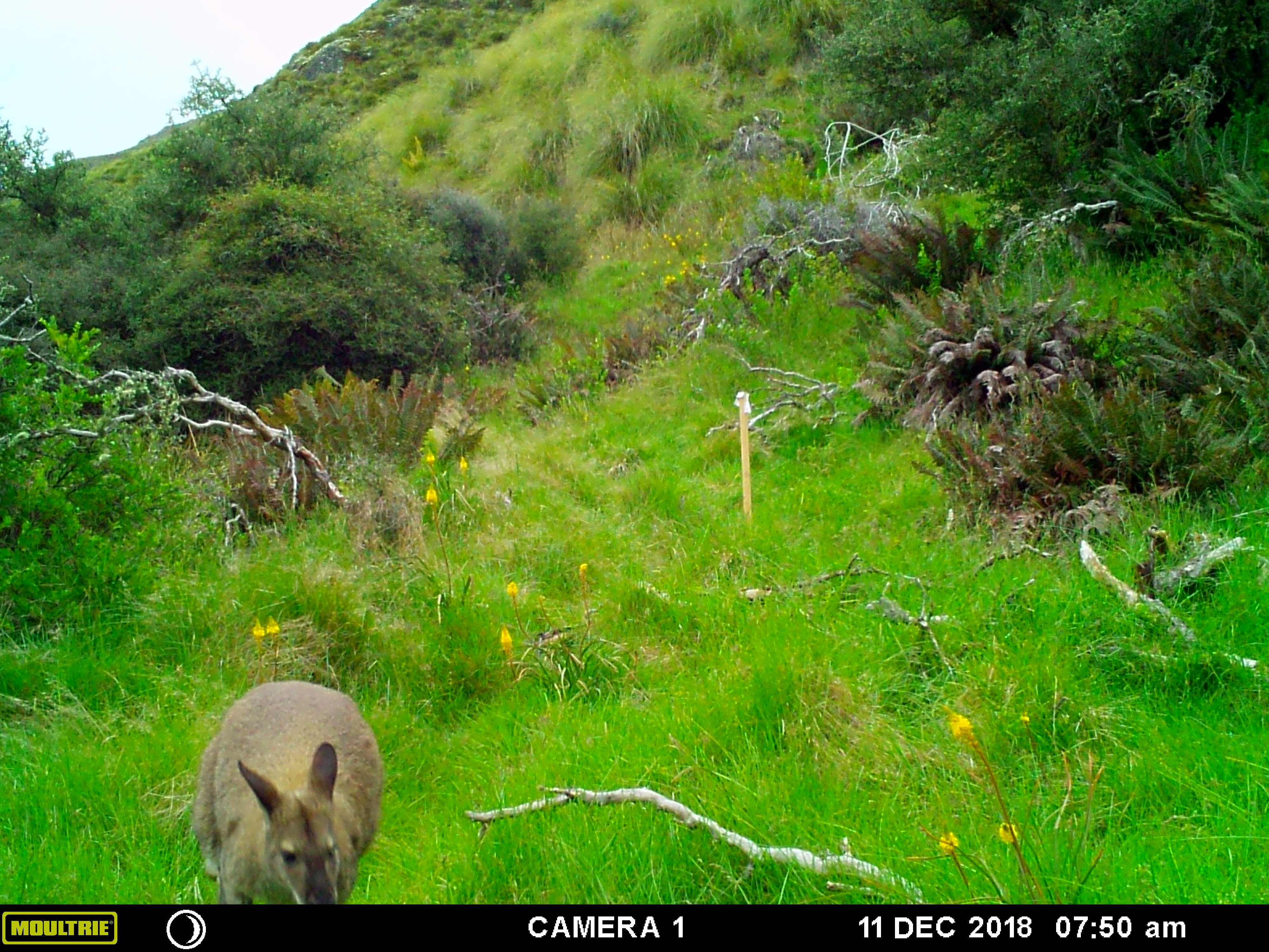 A wallaby makes itself at home on a Naseby property.