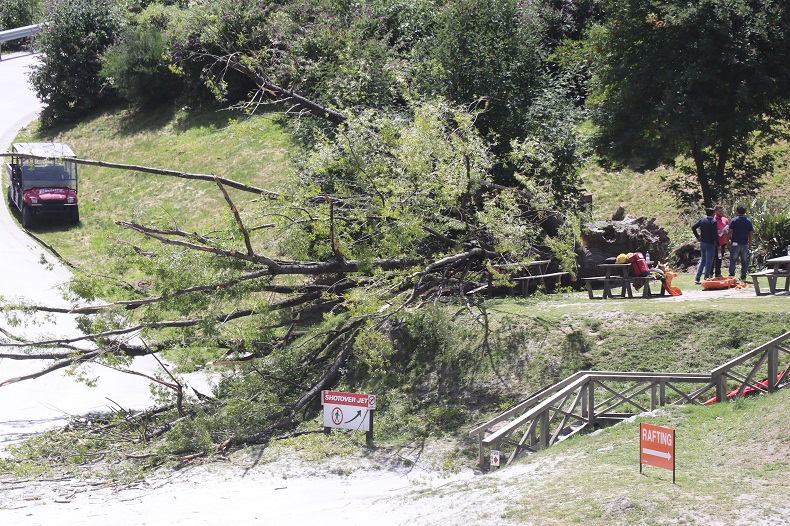 The tree came down in gusty conditions yesterday. Photo: Paul Taylor