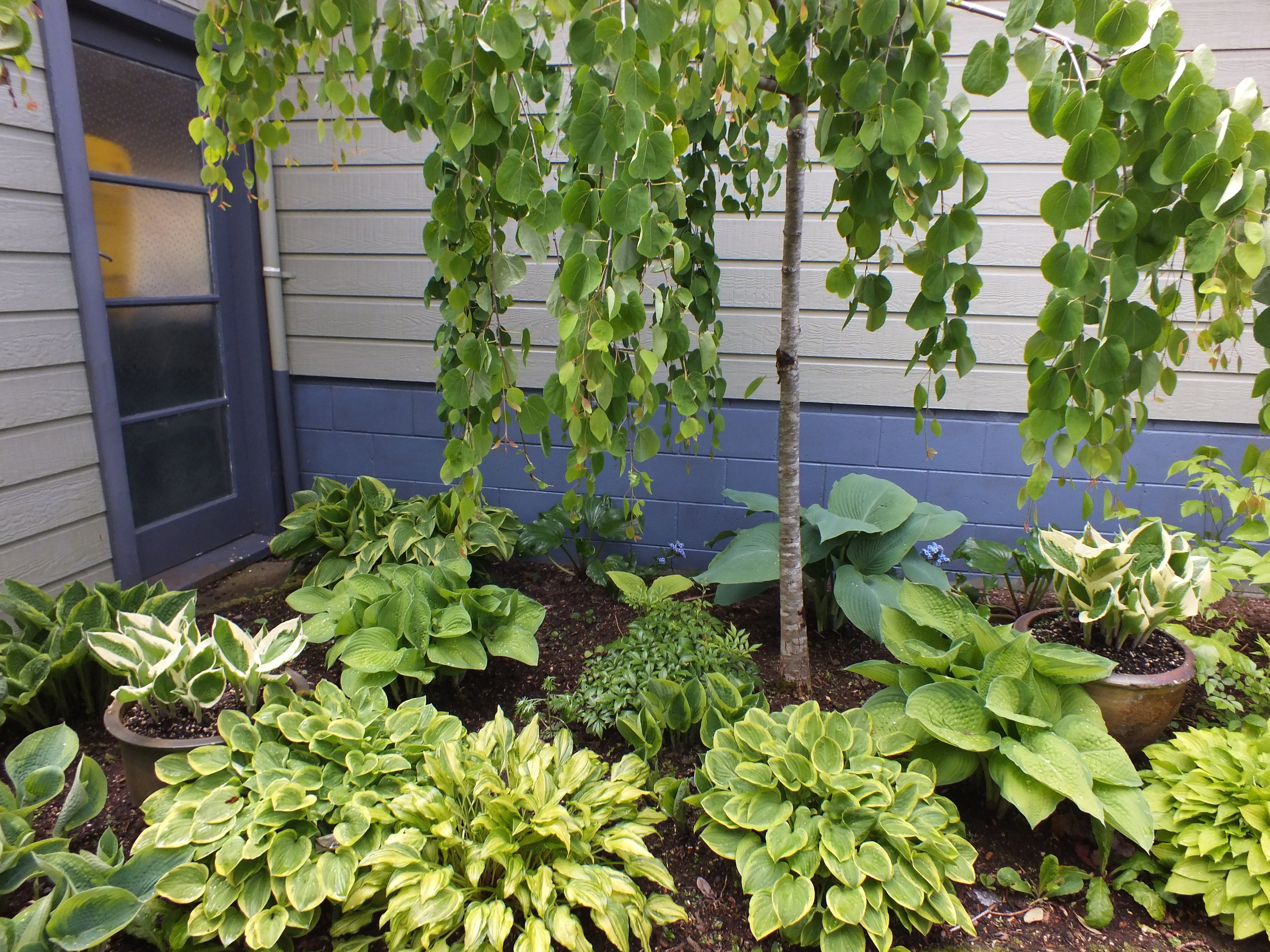 Heavenly Hostas Otago Daily Times Online News