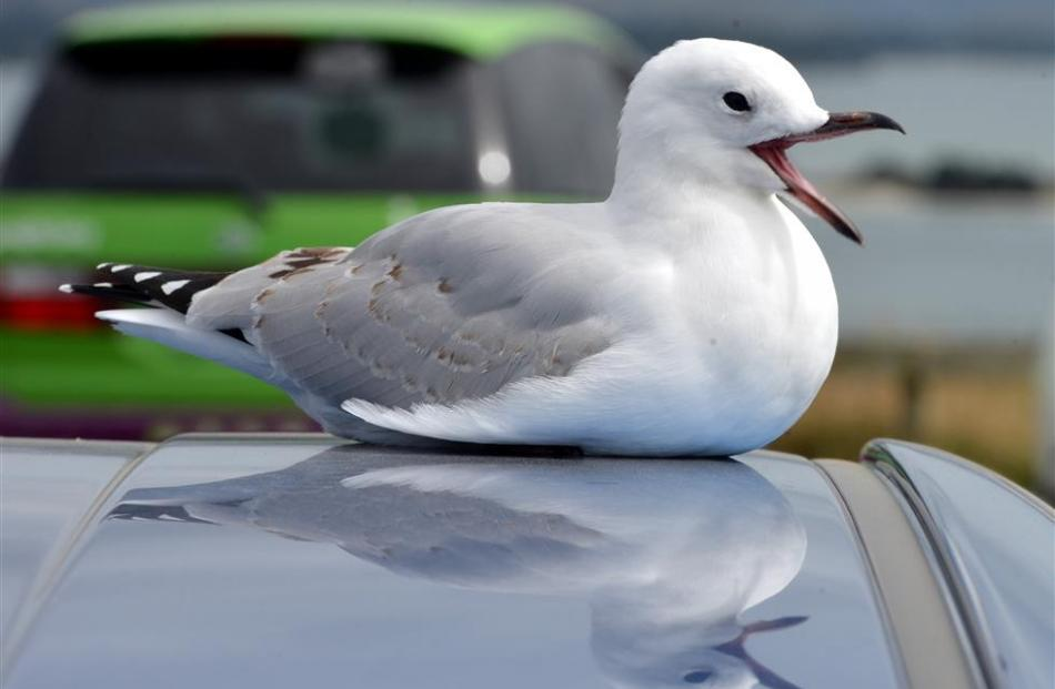 Gulls protected status means supermarket stench to stay