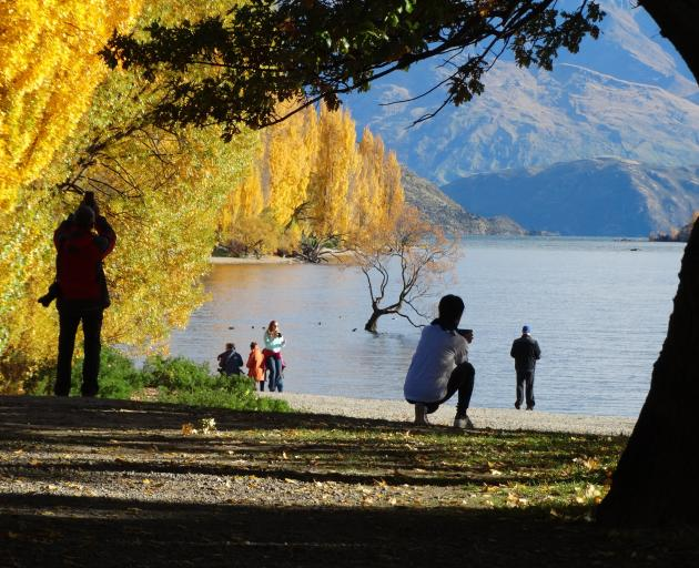 Tourists photograph Wanaka's famous Roy's Bay willow. Photo: Mark Price