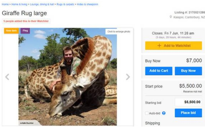 Fabulous Trade Me Giraffe Rug Auction Sparks Outrage Otago Daily Bralicious Painted Fabric Chair Ideas Braliciousco