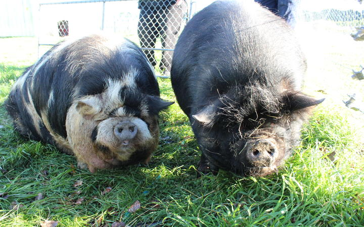Fat pigs Jenny and Craig on extreme diet | Otago Daily Times Online News