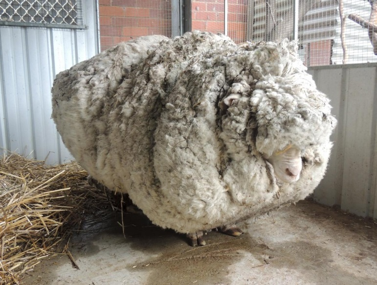 Chris before he was shorn of over 40 kilograms of wool in September 2015. Photo: Reuters