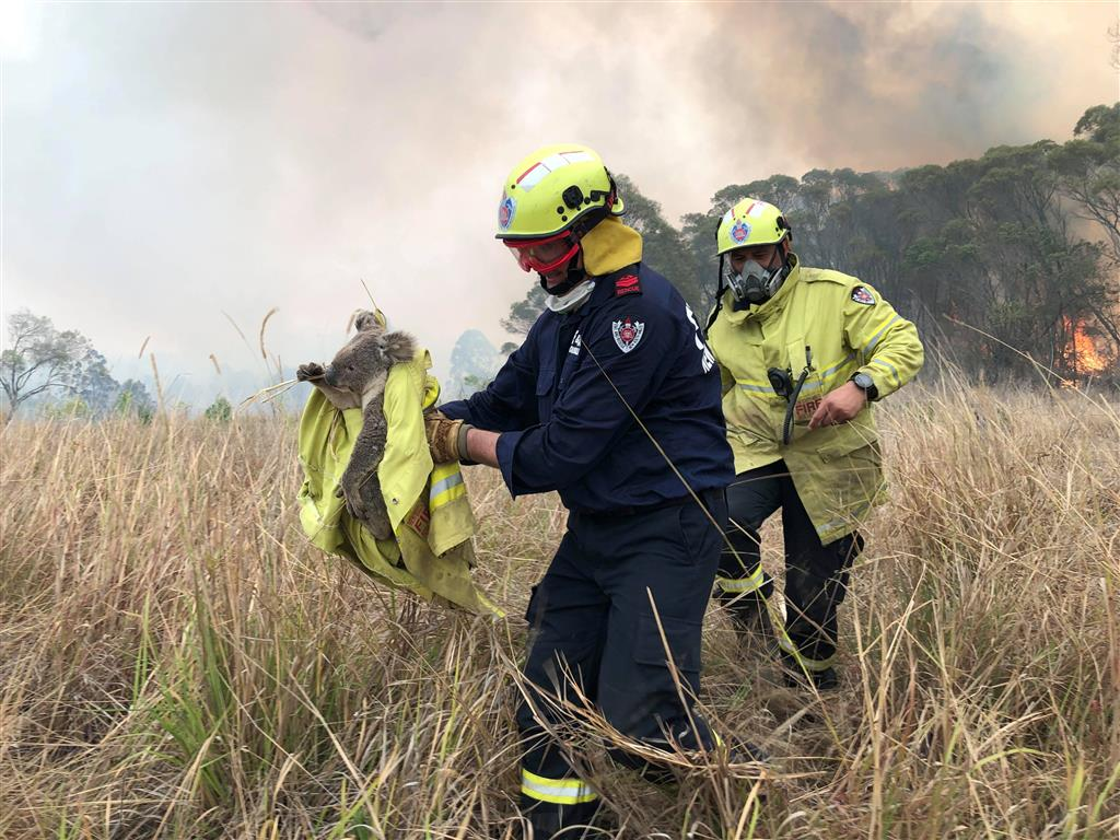 Firefighters rescue a koala from a blaze at Jacky Bulbin Flat, New South Wales. Photo: PAUL...
