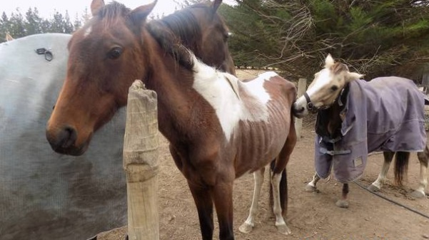 SPCA Inspectors found several of Lisa Corfield's horses in an emaciated condition. Photo:...
