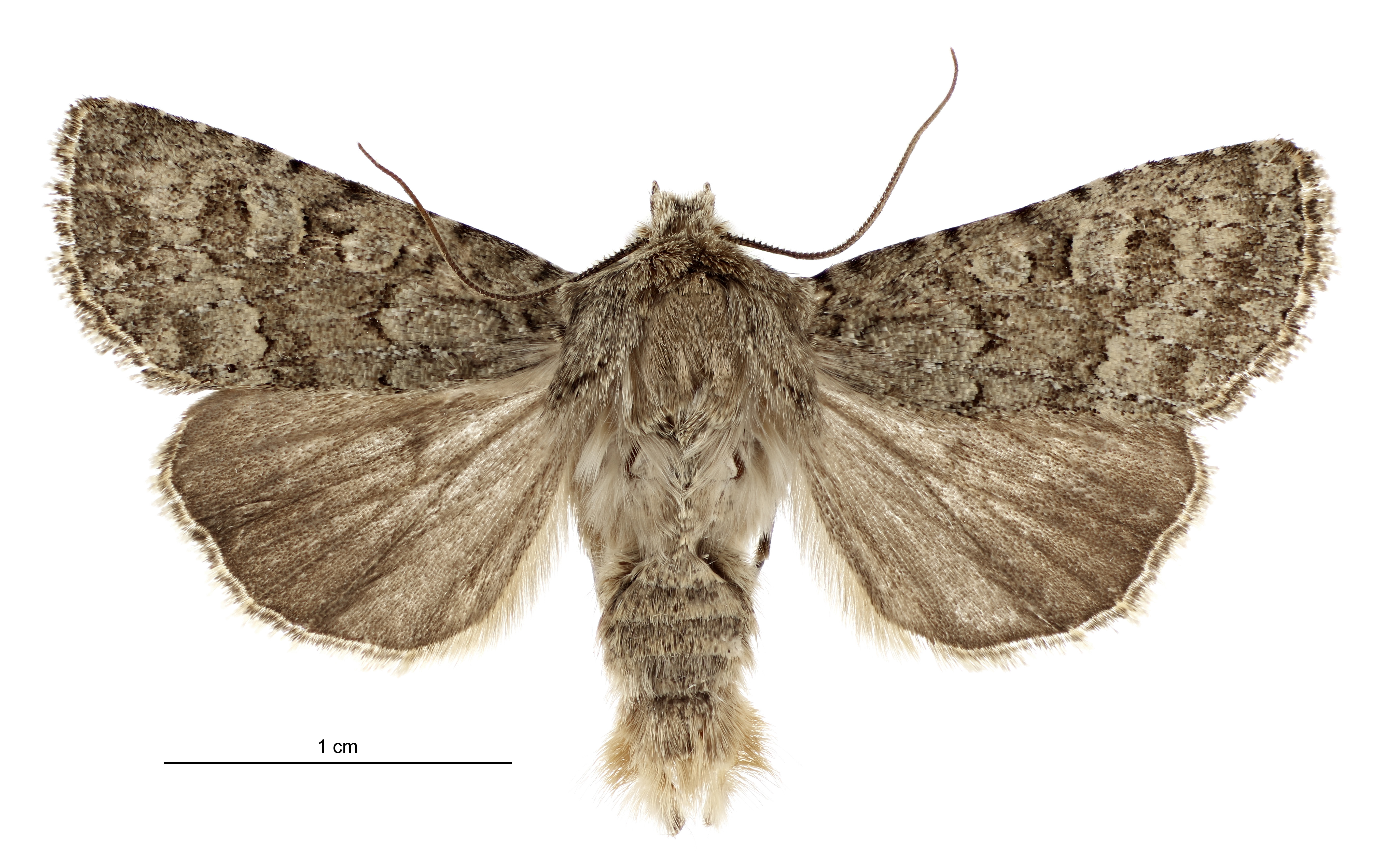 Ichneutica barbara is the latest species of moth to be officially identified and is named after...