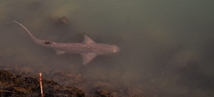 The sevengill shark - which needs a name - photographed in Oamaru Harbour . Photo: Elizabeth...