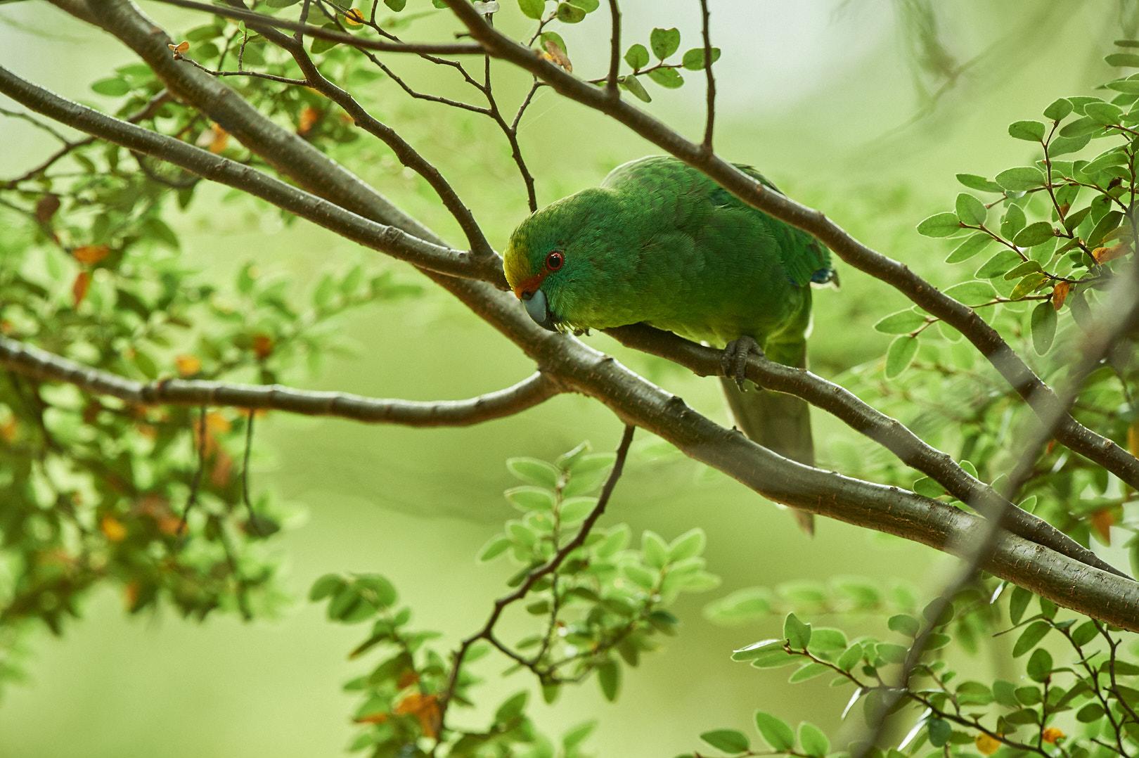 A flock of kākāriki karaka, or orange-fronted parakeets, have been released in the Canterbury...