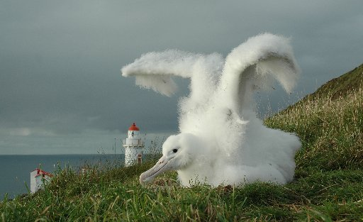 The sight of delightfully fluffy Royal Albatross chicks have helped to attract thousands of...