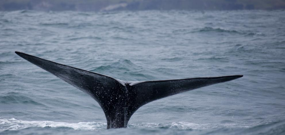 Whale Watch Kaikourawas one of the key assets New Zealand couldn't afford to lose, Tourism...