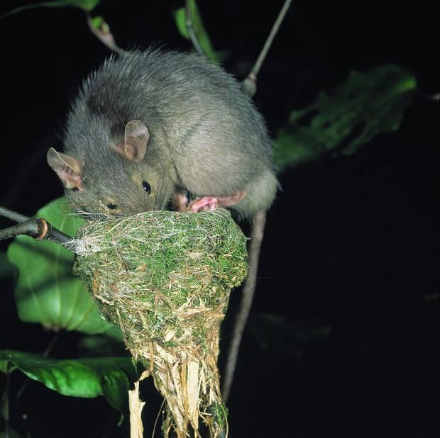 A ship rat raids a fantail's nest. Photo: D Mudge / NZH