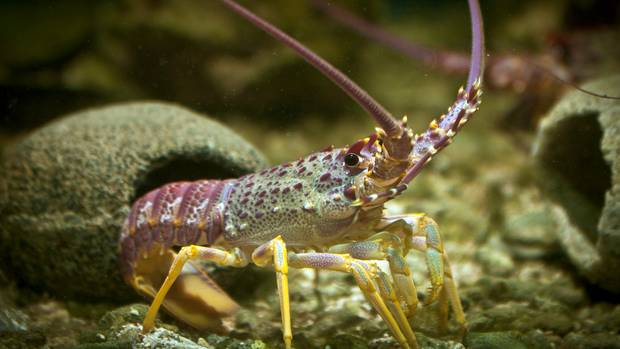 Kevin Clarke under-reported about $800,000 worth of crayfish and pāua. NZ Herald file photo:...
