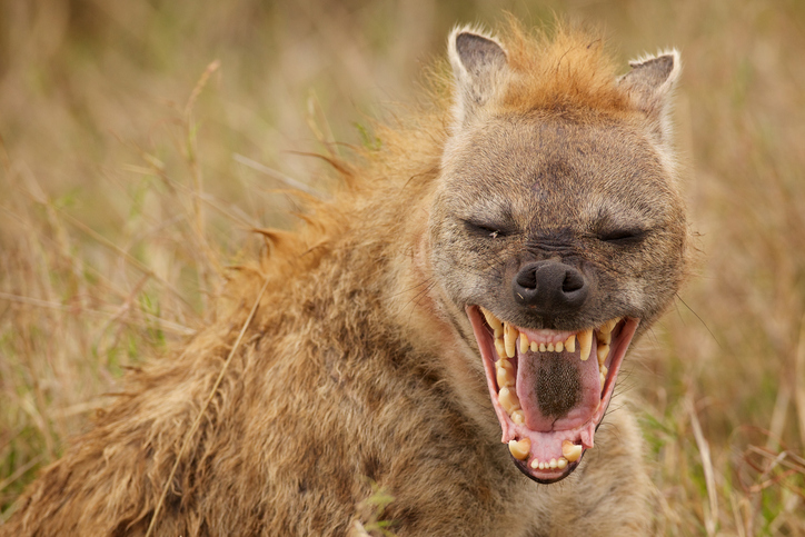The twins could regularly hear the breathing of hyenas outside their sleeping shelter at night....