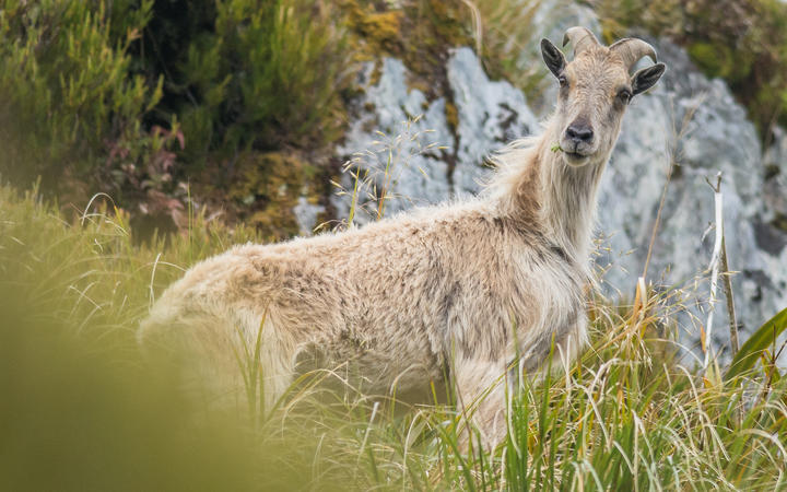 Tahr have have become a major threat to the ecosystems in alpine areas of the South Island, the...