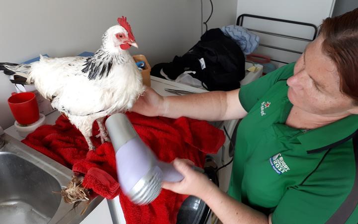 North Canterbury Chicken Rescue in action. Photo: Facebook / North Canterbury Chicken Rescue